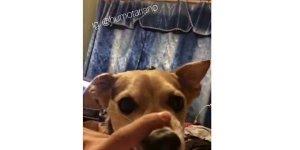 Brincando com a boca do cachorro bravo, se rir tem que compartilhar!