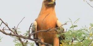 Águia Dourada olha só que coisa mais linda esta ave, vale a pena conferir!!!