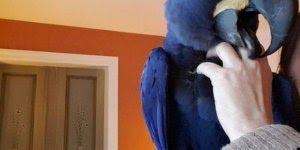 Arara azul - Quem não gostaria de ter uma amiga dessa em casa?