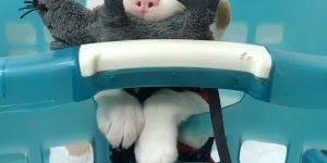 Bebê cachorro mais fofo do dia, veja quanta fofurinha em um só video!
