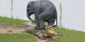Bebê elefante e sua luta contra um ataque de crocodilo, que susto!