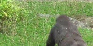 Bebê gorila fazendo gracinhas para visitantes de zoológicos!!!