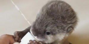 Bebê lontra mamando na mamadeira,olha só que coisinha mais fofa!!!