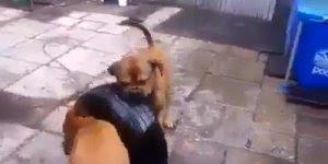 Boxer tirando pneu de dentro da piscina, olha só que inteligentes!!!