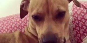 Cachorra viciada em chupar o dedo da sua tutora na hora de dormir!