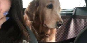 Cachorrinha golden retriever com cara emburrada por causa de acordar cedo!!!