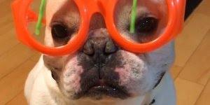 Cachorrinho com óculos divertido, onde será que ele arrumou isso?