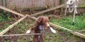 Cachorrinho equilibrando na corda bamba, olha só que equilíbrio!!!