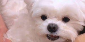 Cachorrinho não quer limpar os dentinhos, olha só que braveza!!!