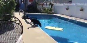 Cachorro atravessando a piscina com uma prancha de surf, kkk!!!