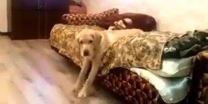 Cachorro cheio de preguiça de sair da cama, olha só a cara dele, hahaha!!!