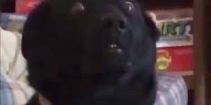 Cachorro com a cara mais engraçada que você já viu na vida, hahaha!!!