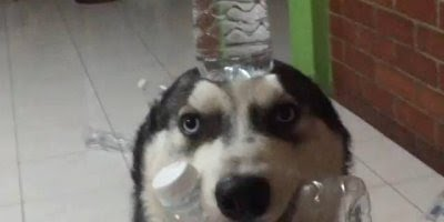 Cachorro faz bagunça e depois fica equilibrando garrafa de água na cabeça!