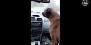 Cachorro invocado com limpador de para-brisa, que engraçado!