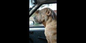 Cachorro leva susto com caminhão, ele até foi se esconder no banco de trás!