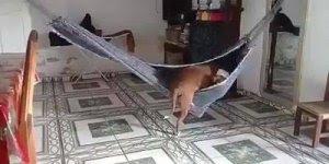 Cachorro que adora tirar uma soneca na rede, olha só que esperto!!!