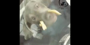 Cachorro tentando comer através de uma mesa de vidro, coitado!