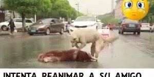 Cachorro tentando salvar outro que tinha sido atropelado, muito triste!!!