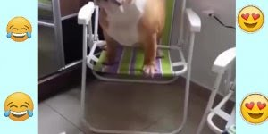 Cachorro tentando sentar em cadeira de praia, alguém ajuda ele?
