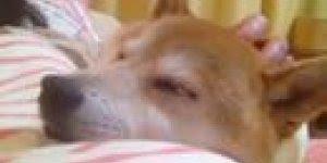 Cachorro tirando uma soneca no colo da mamãe, olha só que fofo!!!
