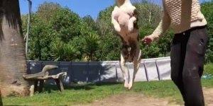 Cachorro treinando, olha só a altura do pulo que ele da, é fantástico!!!
