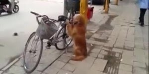 Cachorro vigiando bicicleta do dono, e quando o dono chega ele sobe na garupa!