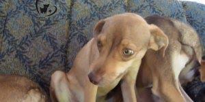 Cachorros destroem sofá e não assumem a culpa, para rir muito!