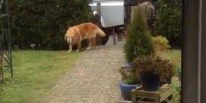 Cães da raça golden retriever ajudando a levar as compras pra dentro de casa!!!