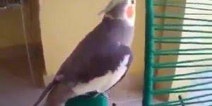 Calopsita e papagaio fazendo um som, olha só como eles mandam bem!!!
