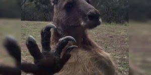 Canguru brigando com vidro de casa na Austrália, veja só a reação dele