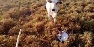 Cavalo enfrentando vaca para fazendeiro cuidar do bezerro, impressionante!