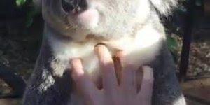 Coala fofo que adora carinho, veja que animal mais dócil e calminho!!!