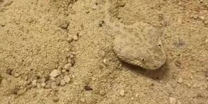 Cobra que esconde na areia, Ceraste Vipera ou cobra da areia do Saara!