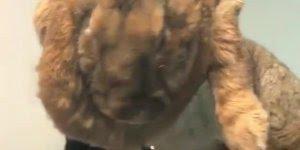 Coelho gigante - Um tamanho difícil de se ver um animal dessa espécie hein!