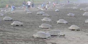 Como a natureza é linda! Veja só quantas tartarugas na praia para desova!!!