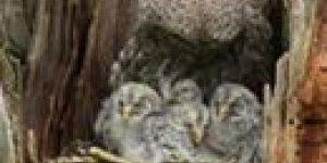 Como é uma família de corujas? Confira o quão é bela esses animais!