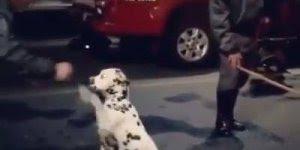 Dálmata inteligente, esse é o cachorro mais esperto que você vai ver!
