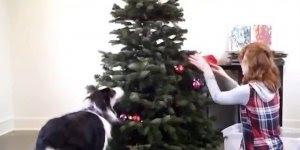 Decorando arvore de Natal com seu melhor amigo de 4 patas, olha só que fofo!!!