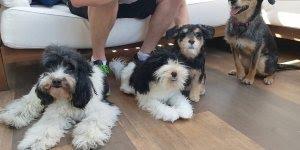 Donos fazem clones de cachorros para alegrar a casa, veja o que aconteceu!