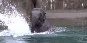 Elefantinho brincando na água, que coisa mais linda da natureza!
