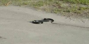 Esta cobra foi picada por uma vespa mais conhecida como Cavalo do Cão!