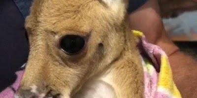 Filhote de canguru que foi resgatado, olha só que fofinho!!!