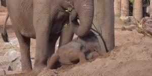 Filhote de elefante fica preso na areia, mais depois consegue sair!!!
