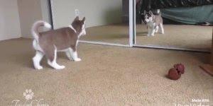Filhote de husky siberiano brincando com seu reflexo no espelho!!!