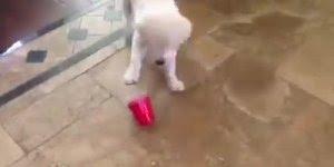 Filhote de labrador se divertindo com copinho descartável, hahaha!!!