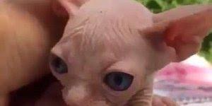 Filhote de Sphynx - Esse gato pode parecer feio, mas ele é super fofo!