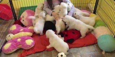 Filhotes de cachorros e uma menina, quanta fofura em um video!