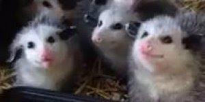 Filhotinhos de gambá, olhando assim não parecem tão fedorentos!!!