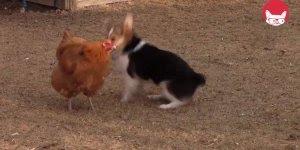 Galinha e cachorro brincando, olha só como se divertem que fofinhos!!!