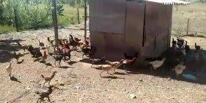 Galinhas correndo em volta da onde tem comida, veja o que faz elas pararem kkk!